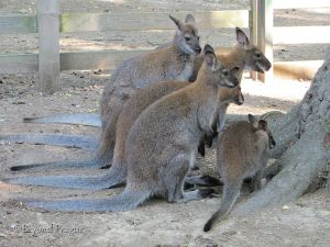 The small kangaroos which live in the chateau park.